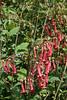 Berges de la Sièvre niortaise entre L'Île d'Elle et Marans : fleurs