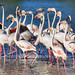 Rassemblement De Flamants Roses
