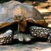 African spurred Tortoise (geochelone sulcata) by Gregory Moine