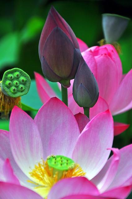 Lotus Blossoms -- Bongwon Temple, Seoul