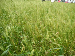 農委會雖推活化休耕政策鼓勵耕種雜糧,小麥自給率仍掛零。圖為台灣生產的小麥田。