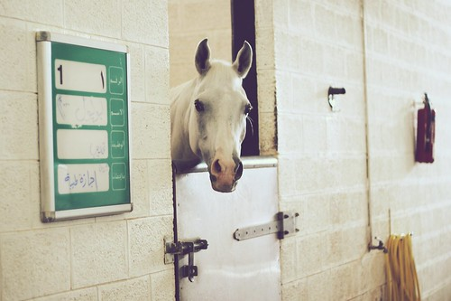 A horse at the Dubai's Police Horse Stables