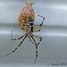 Zigzag Spider with Egg Sac