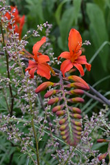 CROCOSMIA x crocosmiiflora 'David Fitt'