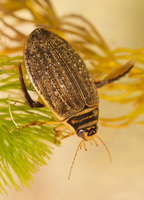 Lesser diving beetle Acilius sulcatus female