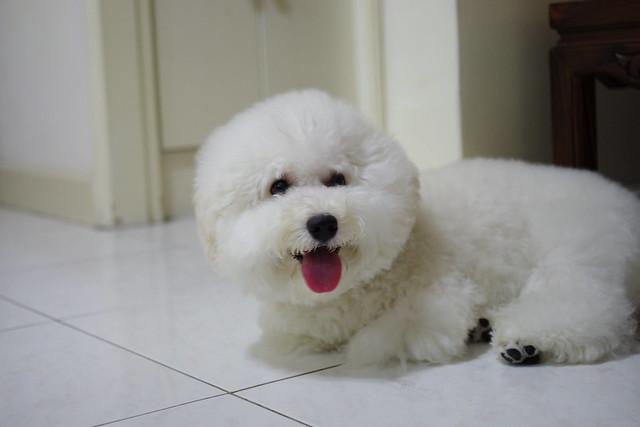 k5 跟大家分享我的狗寶貝(比熊)