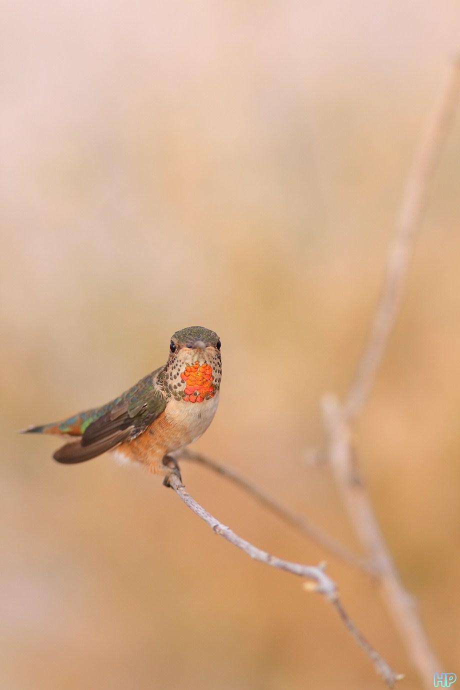 Allen's Hummingbird 083112