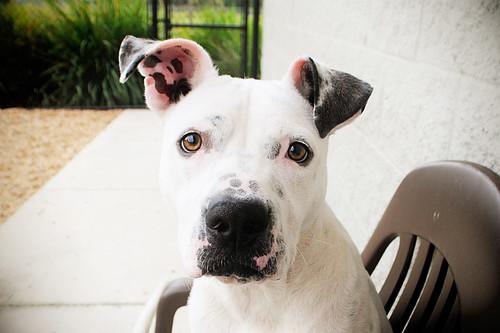 Chuck, American Bulldog /American Staffordshire Terrier mix