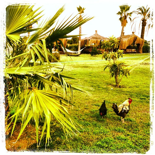 Roosters at Hotel Nerissa