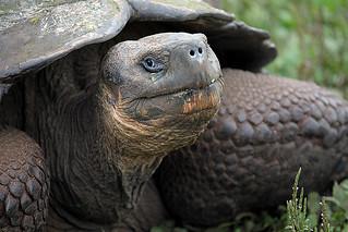 Giant Tortoise 2