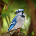 <p>The clamorous yet enigmatic blue jay</p>