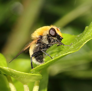 Egg-laying hoverfly (female Volucella bombylans; thanks to Sandraphotographie for the ID)