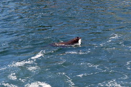 Salmon at the Locks