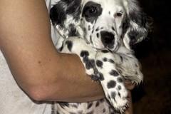 puppy(0.0), dalmatian(0.0), dog breed(1.0), animal(1.0), english setter(1.0), dog(1.0), pet(1.0), mammal(1.0), setter(1.0),