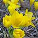 <i> Sternbergia lutea </i>