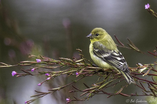Imagen de una de las aves del Quindio: Jilguero Aliblanco (Carduelis psaltria)