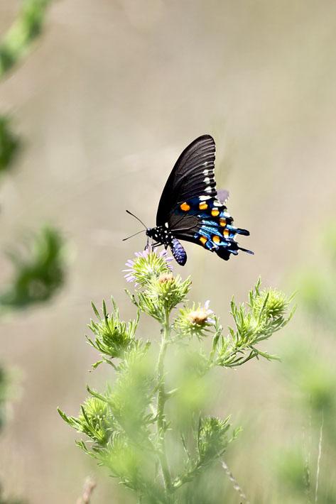 090312_02_butterfly_redSpottedAdmiral01