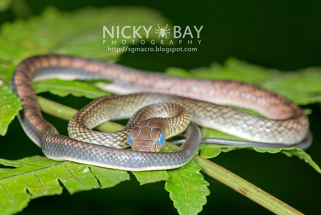 White bellied rat snake (Ptyas fusca) - DSC_2204