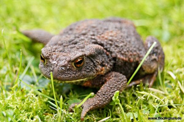 Tiere im Garten: die Erdkröte (Bufo bufo)