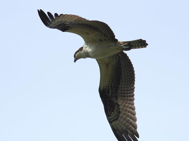Osprey 20120919