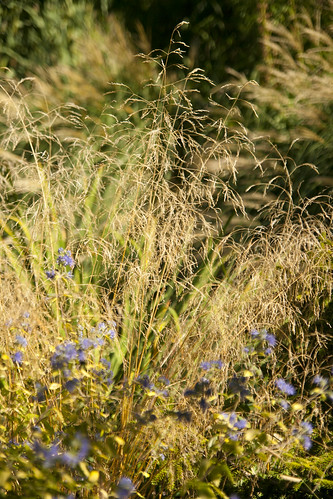 Deschampsia & Caryopteris