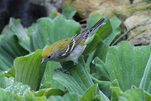 Immature chestnut sided warbler