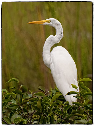 Great White Egret by billkominsky 