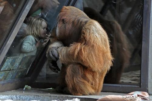 Little girl kissing gorilla
