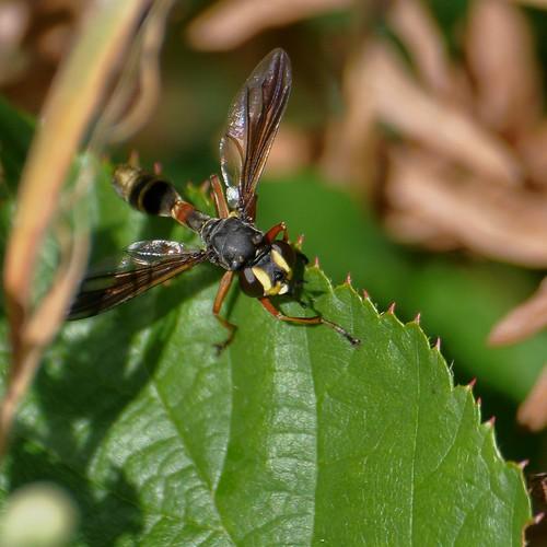 Physocephala rufipes - Thick headed fly - 26/08/12