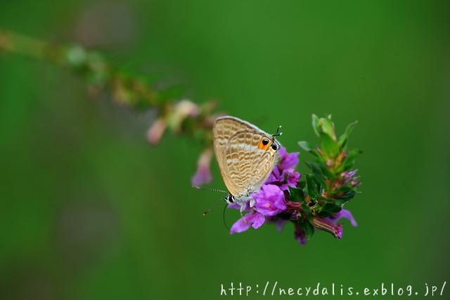 ウラナミシジミ [Lampides boeticus]...