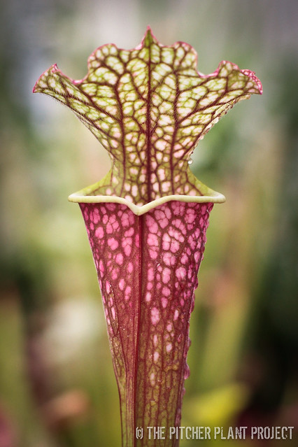 "Sarracenia (leucophylla x oreophila) x [(leucophylla ""red"" x minor var. okefenokeensis) x 'Royal Ruby']"
