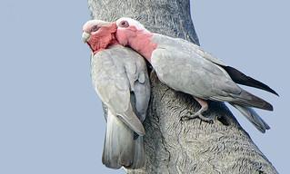 cocky love - nesting galahs