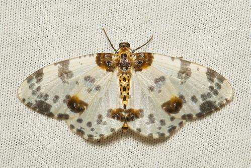 Geometrid Moth (Abraxas sp., Ennominae)