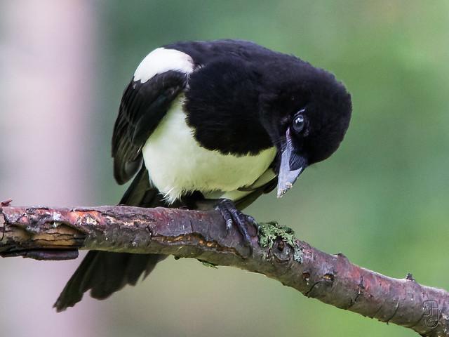 Common Magpie (Pica pica)-0033