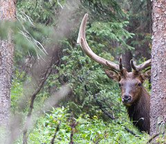 animal, deer, horn, fauna, elk, wildlife,