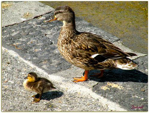 Maman et bébés canards colvert by Jogabi-Michèle