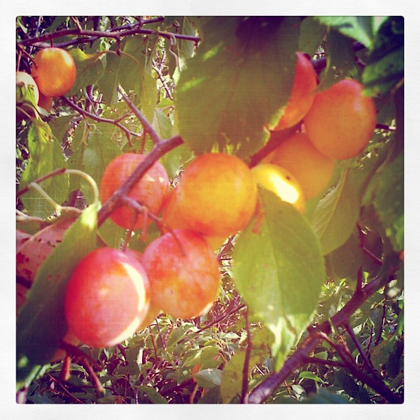 My brother showed me this awesome wild plum tree.