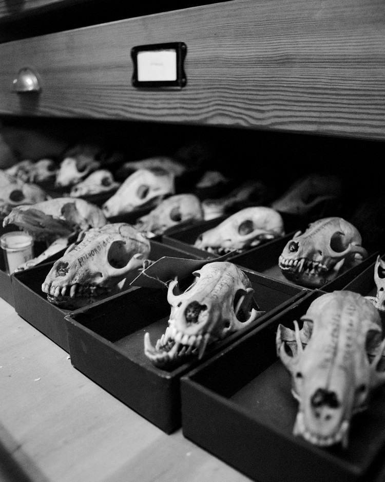 A drawer of fox skulls. They are kept in the little boxes so they don't rattle around and get damaged, and so that if anything breaks off, theoretically the pieces fall into the box and stay with the main body of the object.