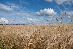 wheat_field6