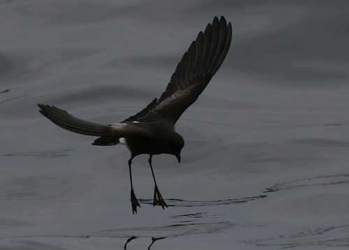 Wilsons storm petrel Pelagic birding with Nature Expeditions in Peru