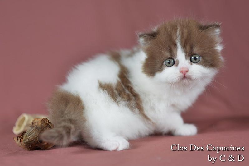 Hanna du Clos des Capucines, chaton 1 mois British Longhair chocolat et blanche arlequin