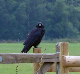 The carrion crow