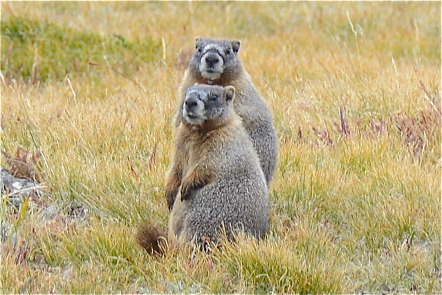 Large Ground Squirrels, aka Marmots