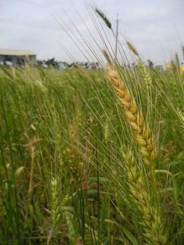 農委會擬以活化休耕地種植雜糧提升糧食自給率。