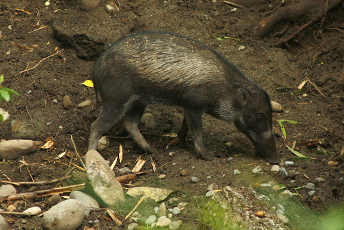 Warty Pig - Woodland Park Zoo by kiki5253