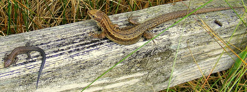 Fuji FinePix S5800-S800.Super Macro.Baby And Adult Common Lizards Sunbathing.August 25th 2012.
