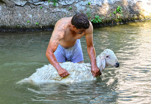 Even sheep need a bath sometimes.