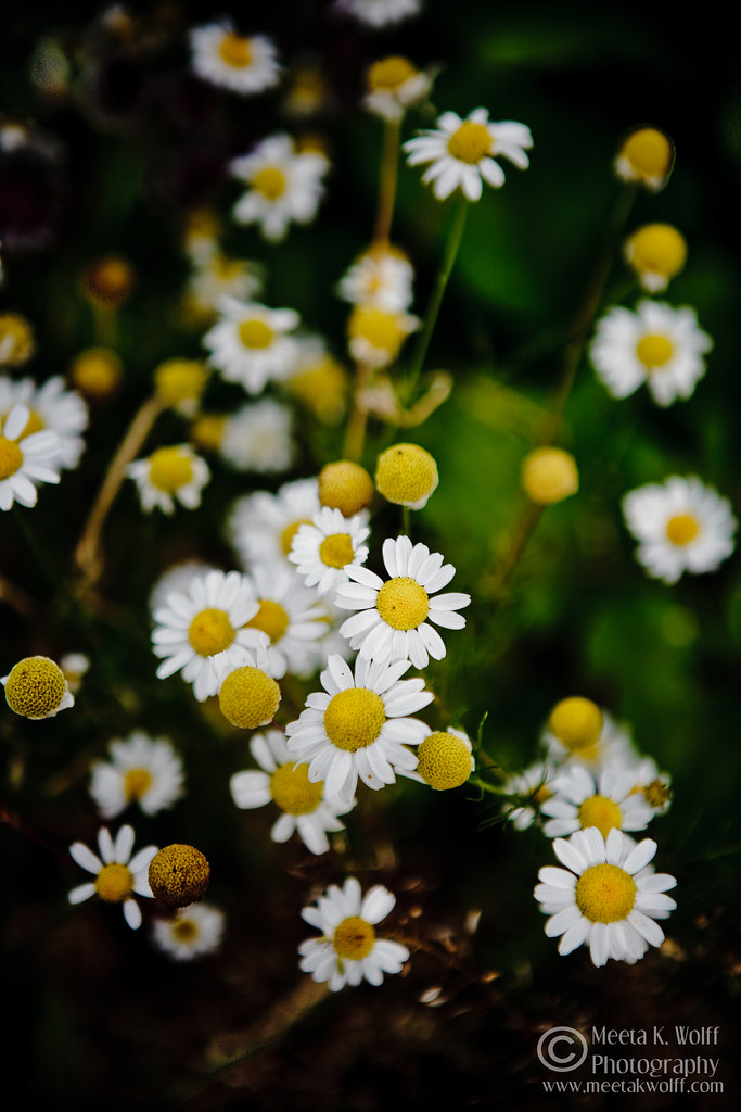 Summer Daisy by Meeta K. Wolff