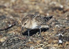 animal, fauna, close-up, sandpiper, beak, bird, lark, wildlife,