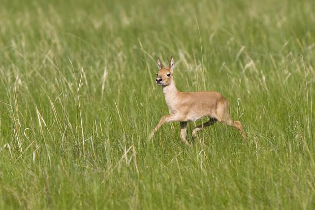 Mongolian gazelle procapra gutturosa baby for Gazelle cuisine hors serie